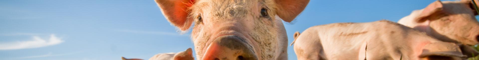 , Pies delanteros de cerdo